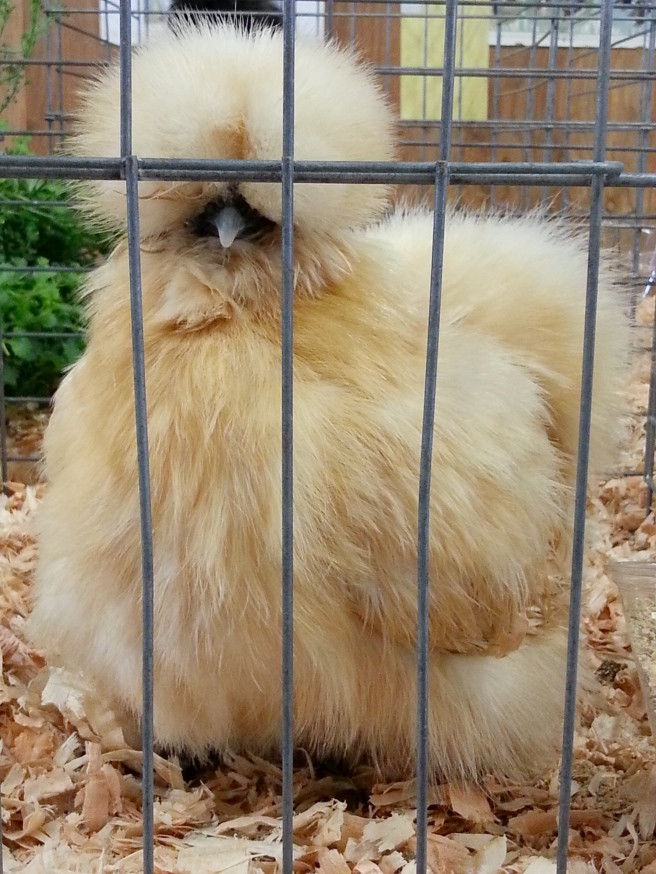 Silkie Bearded Chicken, so pretty!